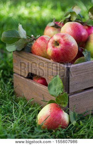 Apples In Wooden Crate In Garden