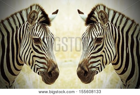 Zebra heads facing each other with a vignetted edge