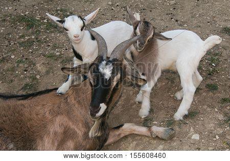 Family of happy nigerian dwarf goats in the farm