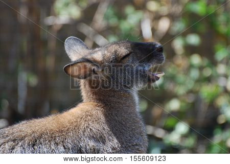 Wallaby with his mouth open and his bottom teeth showing.