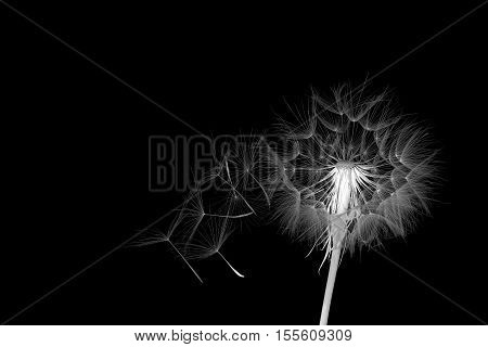 dandelion and its flying seeds in a color inversion