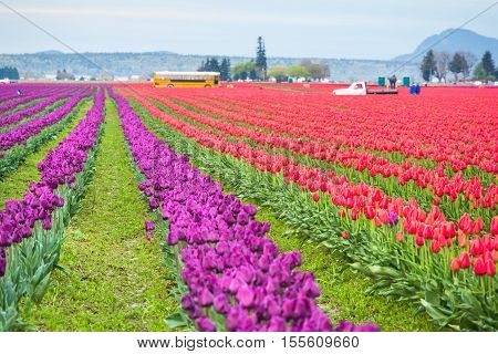 Mt Vernon, USA - April 6, 2016: Rows of red and purple tulips field with school bus and people working