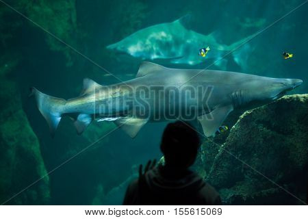 LA ROCHELLE, FRANCE - JULY 3, 2016: Visitor looks as the sand tiger sharks (Carcharias taurus), also known as the grey nurse sharks, swim in La Rochelle Aquarium, France.