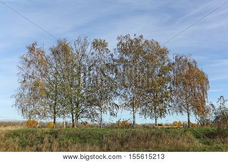 Birch trees in fall colors in a rural area in the north of Berlin the German capital.