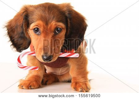 Longhair dachshund puppy with Christmas candy cane, isolated on white.