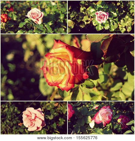 Collage of garden roses in day time, toned images.