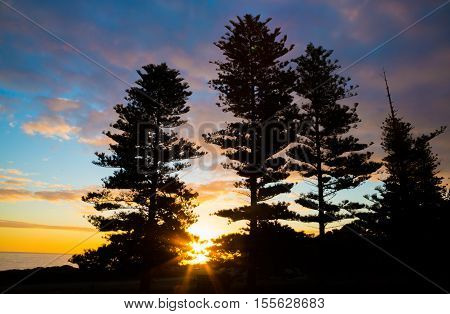 Pretty sunset at the ocean with tall pine trees silhouetted in the foreground
