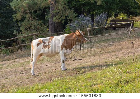 Cow grazes in a village near the fence. Animals