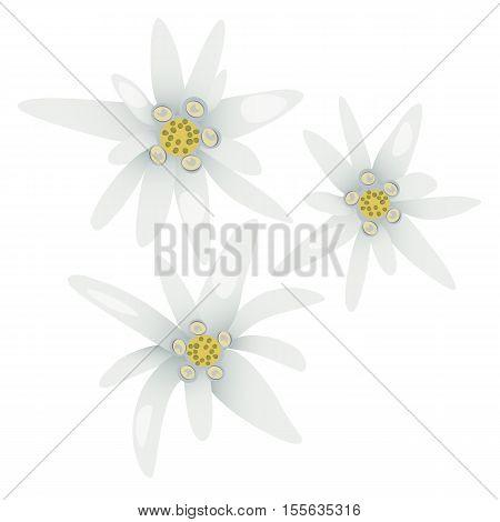 Edelweiss flowers. Leontopodium alpinum. Alps symbol isolated