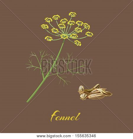 Fennel Foeniculum vulgare . Flowers leaves and seeds. Vector illustration