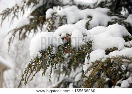winter scene: Japanese hemlock branches covered in snow