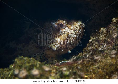 Red scorpionfish (Scorpaena scrofa), also known as the bigscale scorpionfish.