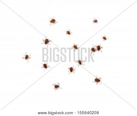 Closeup many ticks or parasitic on on white background Pet health care concept soft focus