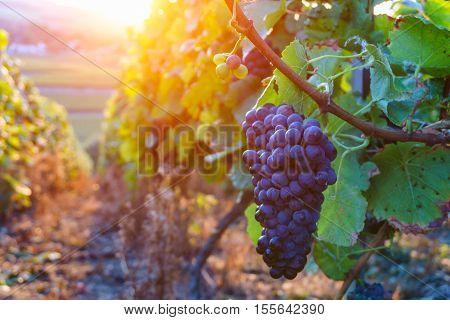 Vine grapes in champagne region in autumn harvest France