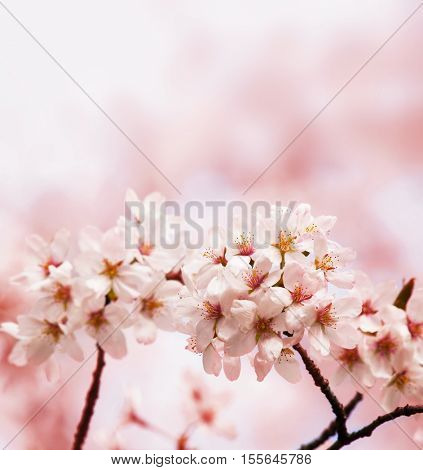 Cherry blossoms, blooming upward. Soft and tender pastel pink background. Intentionally shot with shallow depth of field.