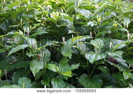 Piper sarmentosum Roxb is Thai favorite natural herb for eat as vegetable