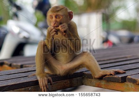 close-up young macaca monkey sitting on a beanch and eating fruits in Thailand