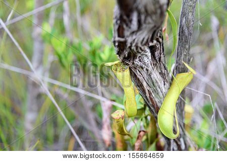 Carnivorous pitcher plant. Nepenthes albomarginata in the rainforest at Bako National Park. Sarawak. Borneo. Malaysia poster