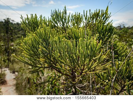 Branch Of Green Cypress Tree. Background Texture