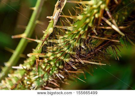 Thorns Of Palm Tree