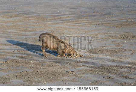 Bornean Bearded Pigs On Beach