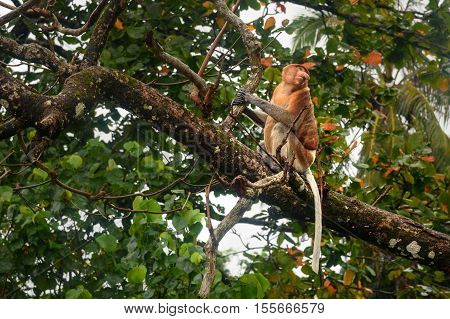 Proboscis Monkey With Long Nose
