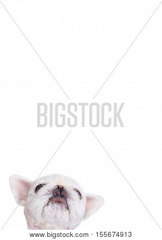 Dog over blank posterboard, you add the message. Isolated on the white.