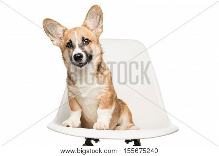 A puppy looking at camera. Pembroke Welsh Corgi puppy sitting on chair. isolated on white background