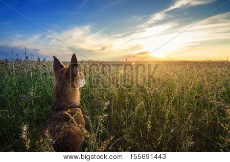 Small Chihuahua dog enjoying golden sunset in grass. It stands back to camera on colorful field and looks to horizon. Blue sky and white clouds around. Picture is shot from down position.