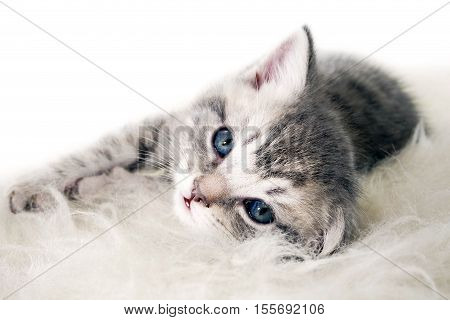 kitten lies on a white background. beautiful gray kitten