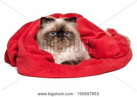 Cute persian colourpoint cat is lying covered with a red blanket - towel isolated on white background