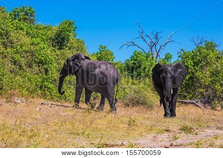 Watering large animals in the Okavango Delta. Two elephants. Fascinating journey to Africa. Chobe National Park in Botswana