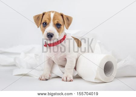 jack russel puppy with toilet paper