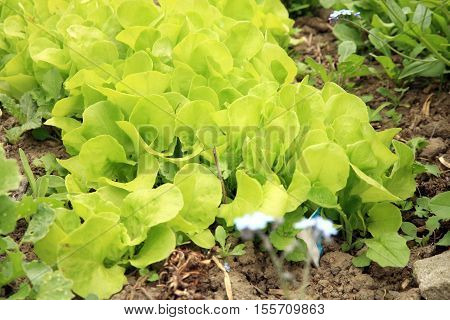Young lettuce in ecological home garden. Eco-friendly backyard garden, vegetable country garden.