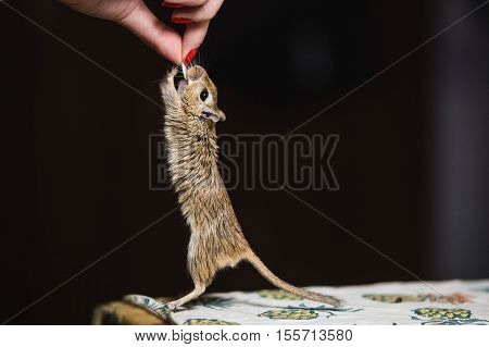 Girl feeds the gerbil mouse seedsGirl hand-feed the gerbil mouse seeds and grain. Mice snatches seed