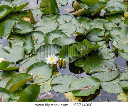 White Water lily on green lily pads