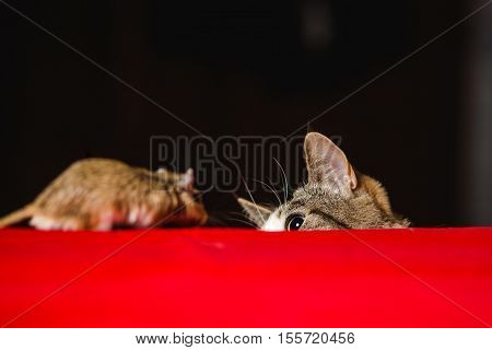 Cat vs gerbil mouse on red table.
