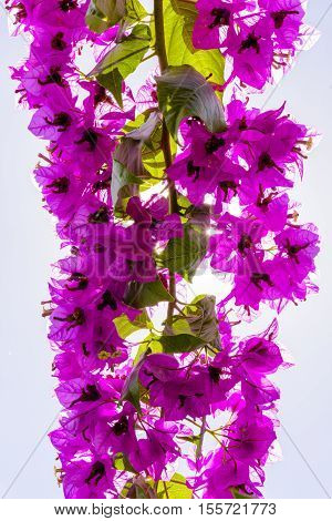 Bougainvillea Or Paper Flower Treetop Against Blue Sky