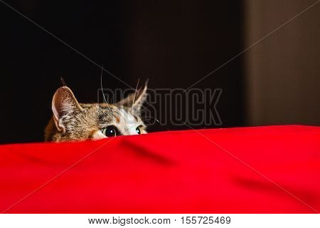 Cat in ambush with wild eyes before attack poster