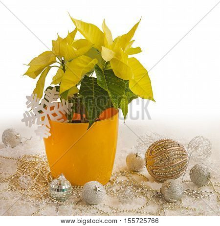 Yellow Poinsettia (Euphorbia pulcherrima) and Christmas decorations