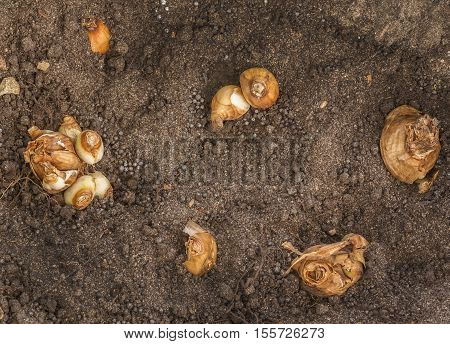 Planting bulbs of daffodils in the ground in autumn
