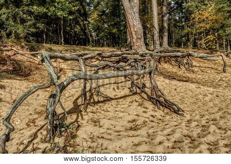 Tree With Their Roots On Sand
