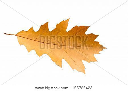 Piece Of Autumn Leave Whitering In Fall