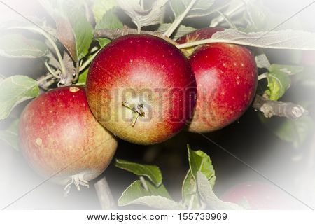 a trio of ripe red apples still on the tree