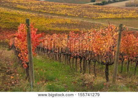 View of vineyards in autumnal colors ready for harvest and production of wine