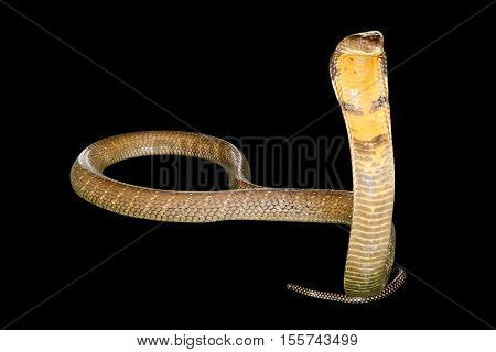 King Cobra Snake Ophiophagus hannah, isolated on black background. Front view.