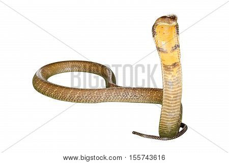 King Cobra Snake Ophiophagus hannah, isolated on white background. Front view.