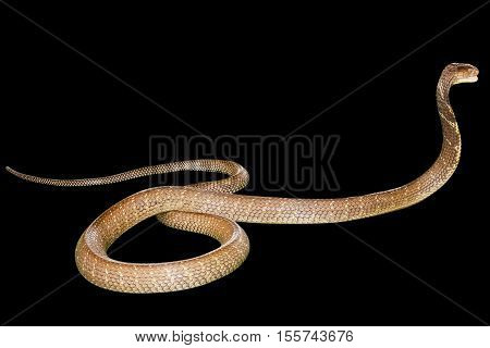 King Cobra Snake Ophiophagus hannah, isolated on black background. Side view. Phobia concept.