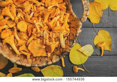 Raw Wild Chanterelle Mushrooms in wicker basket on dark gray wooden background on table few Chanterelle Mushrooms yellow autumn leaves. Top view