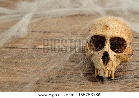 Vervet monkey skull covered with cobwebs isolated on a wooden background